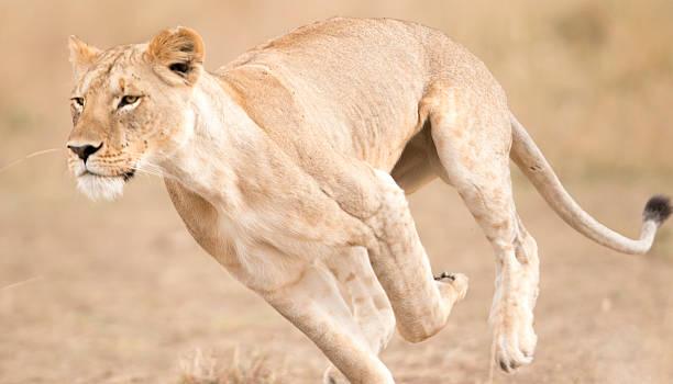 Lioness running , Masai Mara , Kenya stock photo