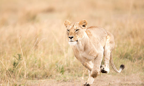 lioness running, masai mara, kenya - lioness stock photos and pictures
