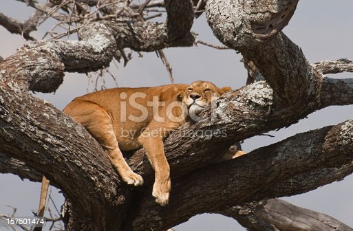 A lioness takes a nap in a tree in the Serengeti national park, Tanzania