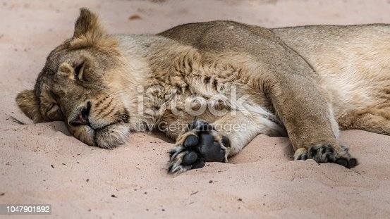 Lioness Sleeping in the Sun