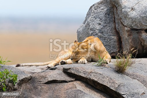 Female lion sleeping on rock.