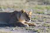 Lions sleeping under trees at Etosha National Park, Namibia