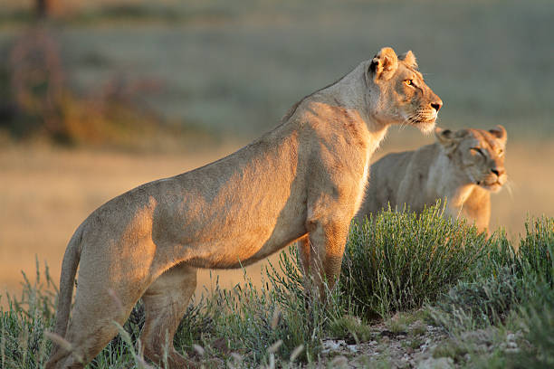 lioness standing on a rocky outcrop or hill, looking forwards - lioness stock photos and pictures