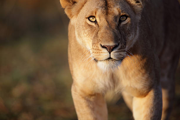 lioness stare - lioness stock photos and pictures