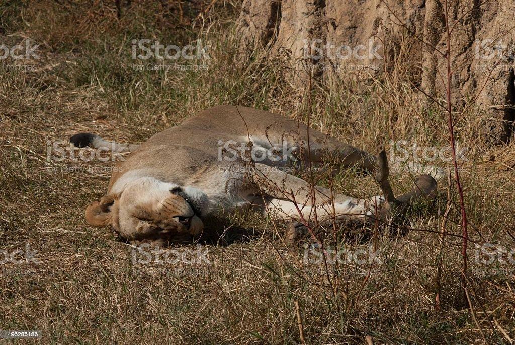Lioness sunning herself stock photo