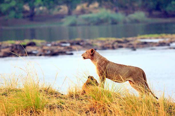 Lioness surveying the landscape in Zambezi national park, Zimbabwe – Foto
