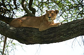 A Lioness on a tree climbing and hanging Serengeti NP- Lion Safari Portrait