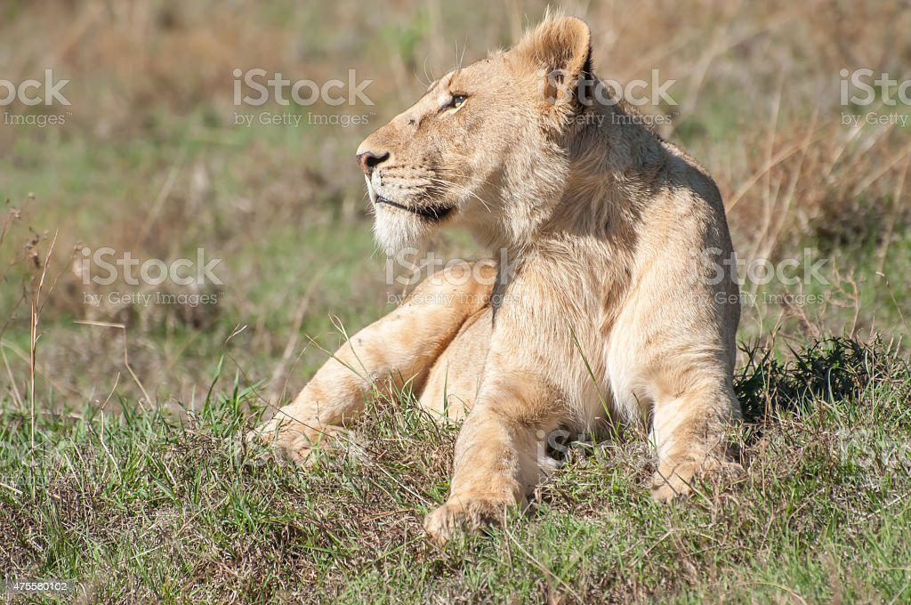 Lioness Up Close in Short Grass stock photo