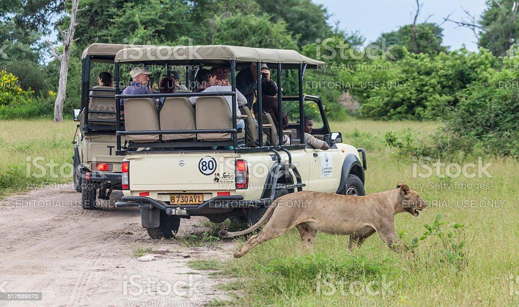 Lioness walking behind safari vehicles; Chobe_NP, Botswana, Africa stock photo