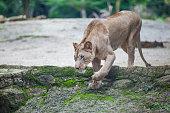 Lioness (Panthera leo) walking in Zoo
