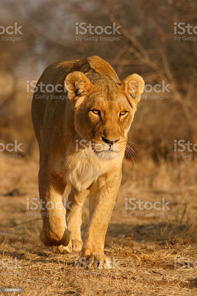 Lioness walking royalty-free stock photo