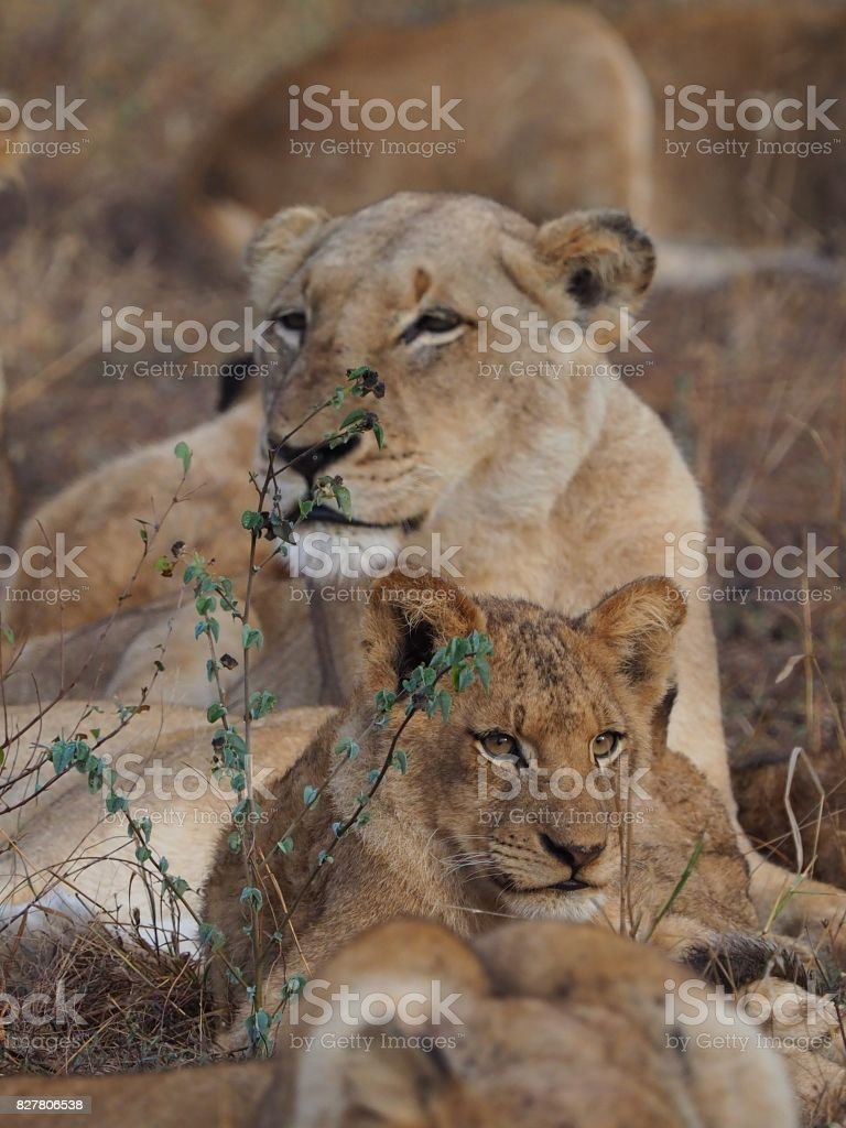 Lioness watching over her cub stock photo