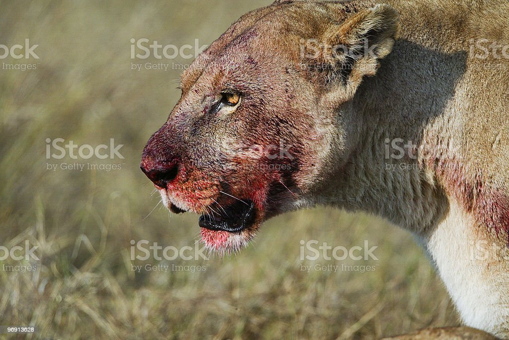 Lioness (Panthera leo), with bloody face from a fresh kill royalty-free stock photo