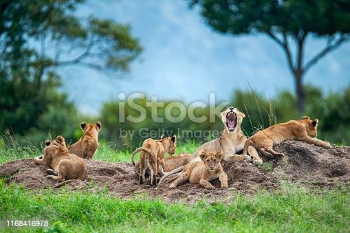 A moaning lioness (panthera leo) with her cubs is resting on a small hill. Shot in wildlife, directly at the border of Masai Mara (Kenya) and Serengeti (Tanzania).