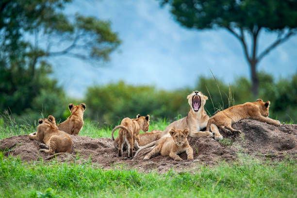 Lioness with cubs in the green plains of Masai Mara A moaning lioness (panthera leo) with her cubs is resting on a small hill. Shot in wildlife, directly at the border of Masai Mara (Kenya) and Serengeti (Tanzania). wildlife reserve stock pictures, royalty-free photos & images