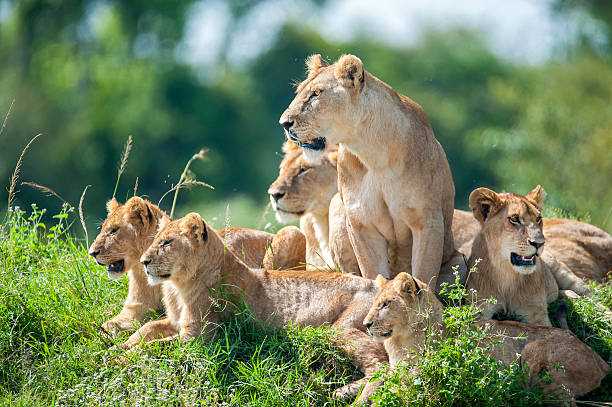lioness with cubs in the green plains of masai mara - lioness stock photos and pictures