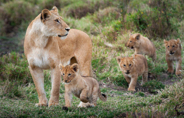 Lioness with cubs Lioness with cubs in the green plains of Masai Mara animal family stock pictures, royalty-free photos & images