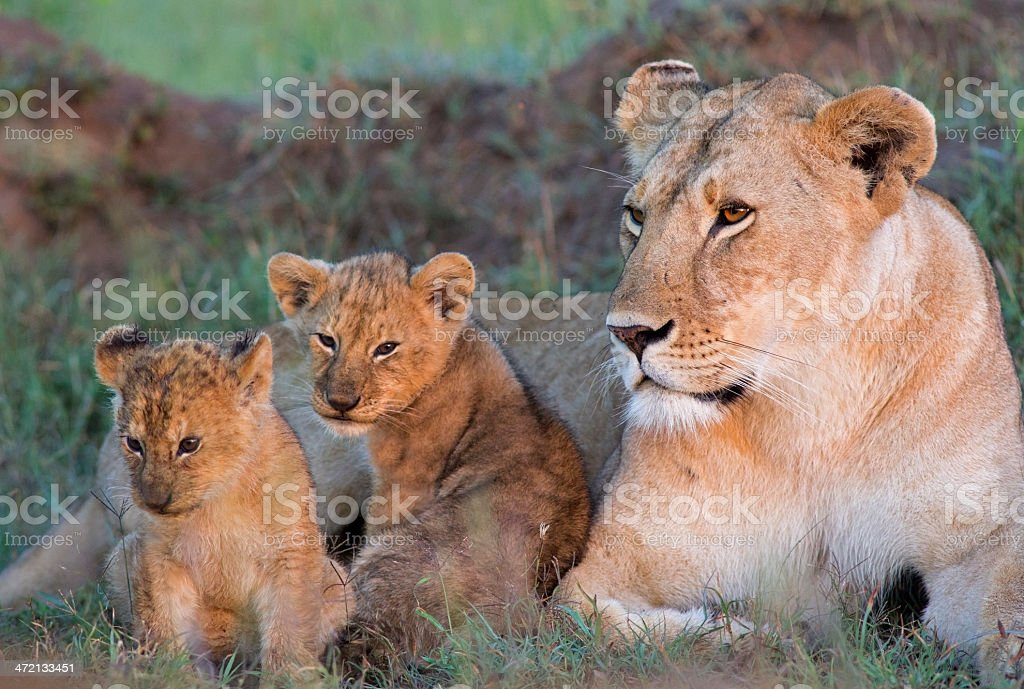 Lioness with cubs stock photo