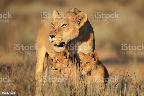 Lioness with cubs picture id503304938?b=1&k=6&m=503304938&s=612x612&h=gteog0ezd5jbqfef0zvf36xvvw valw6oo8z e3seto=