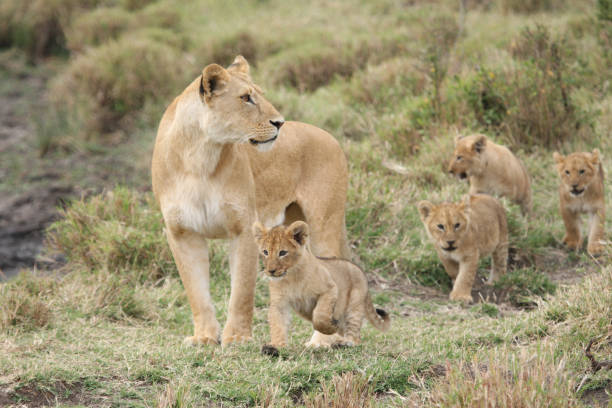 lioness with cubs - lioness stock photos and pictures