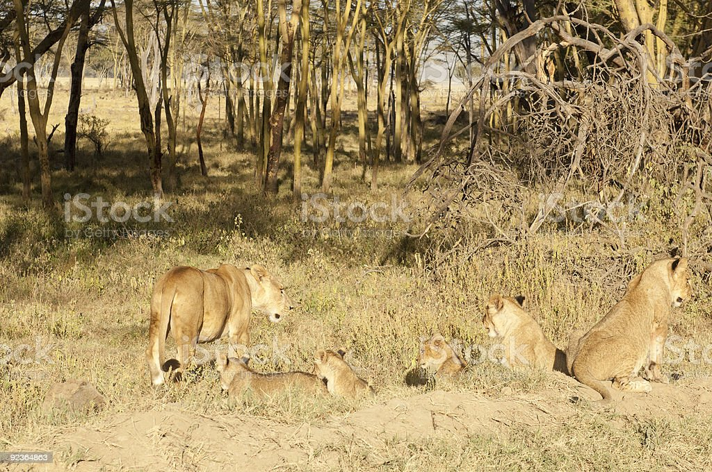 Lioness with cubs royalty-free stock photo
