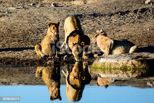 Lioness with her cubs in reflection at a waterhole in Etosha