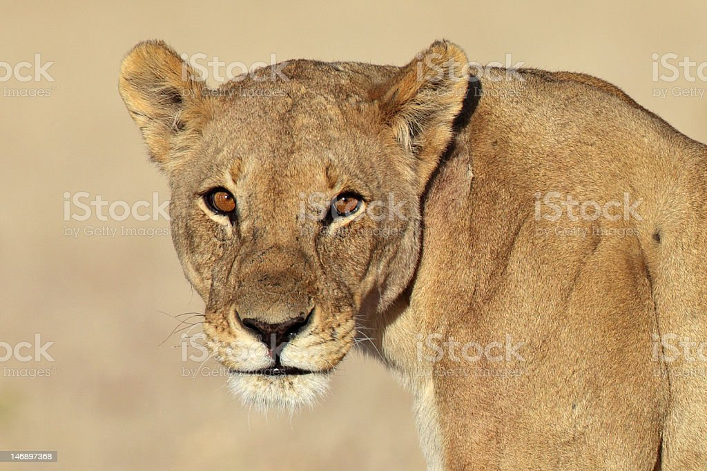 Lioness with sunrise reflection in its eyes royalty-free stock photo
