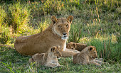 A lioness resting in the grass in late evening sunlight in the Masai Mara, Kenya, with her three cubs laying down in the grass beside her