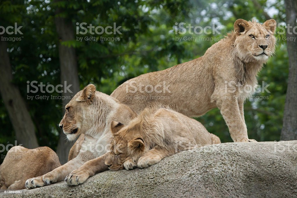 Lioness with two juvenile male lions (Panthera leo). stock photo