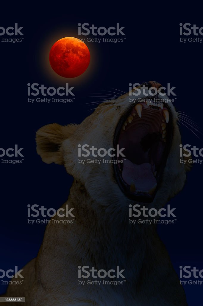 lioness yawning with red moon stock photo