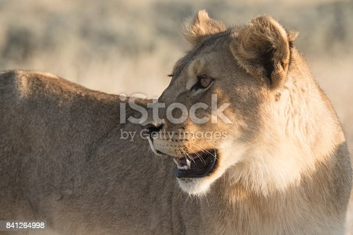 The members of a pride of lionesses and cubs wake up fromcthe day time snack and gather and move early in the evening for the nightly hunt near the Nebrownii waterhole, Okaukeujo, Etosha National Park, Namibia
