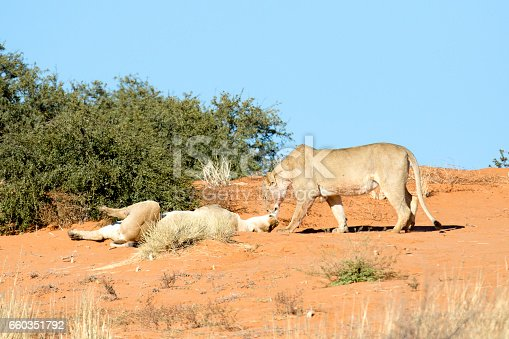 Lionesses on dunes of the Kalahari.