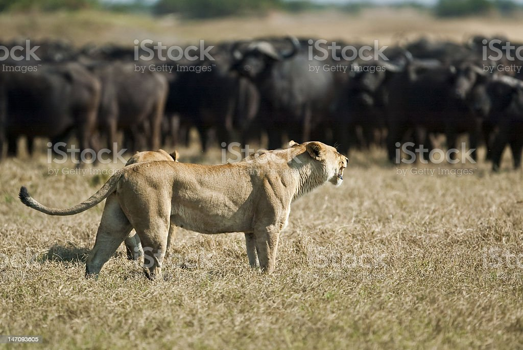 Lionesses (Panthera leo), stalking Cape buffalo (Syncerus caffer stock photo