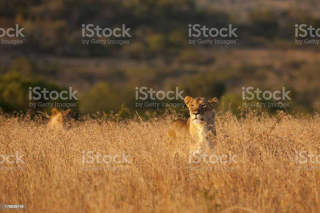 Lionesses stalking through the long grass royalty-free stock photo