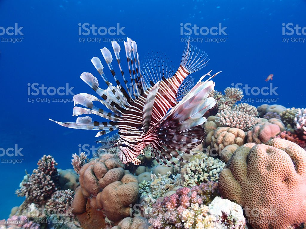 Lionfish and coral reef stock photo
