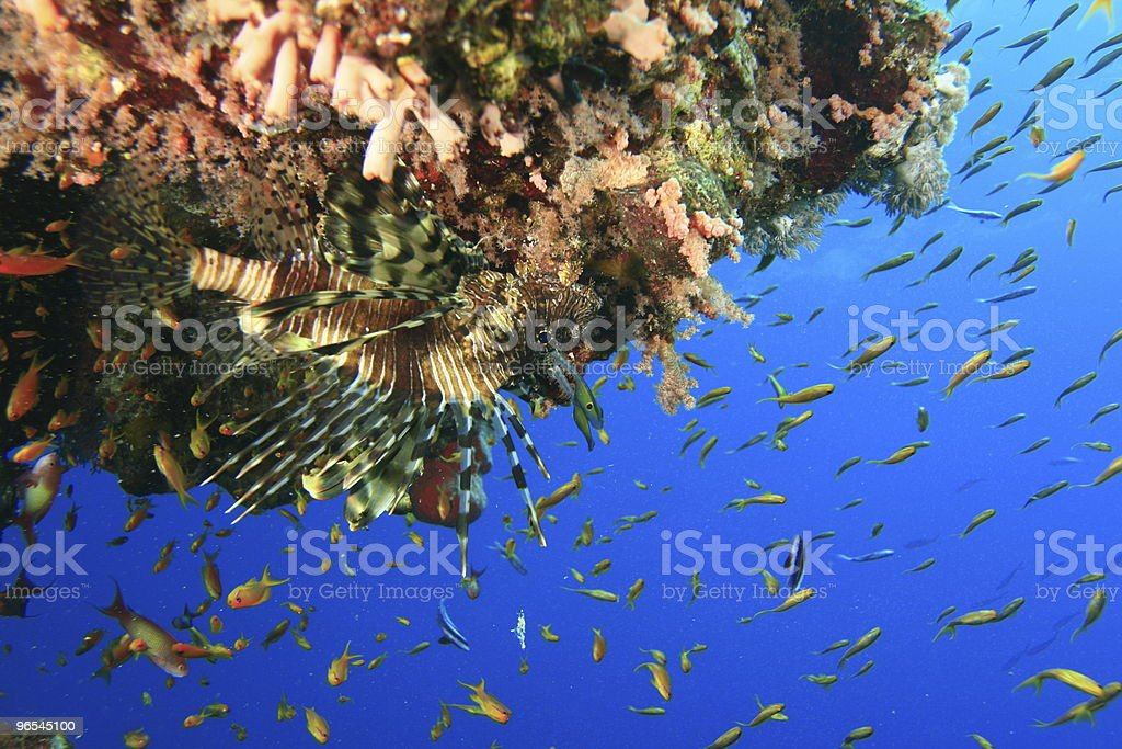 Lionfish and Fairy Basslets royalty-free stock photo