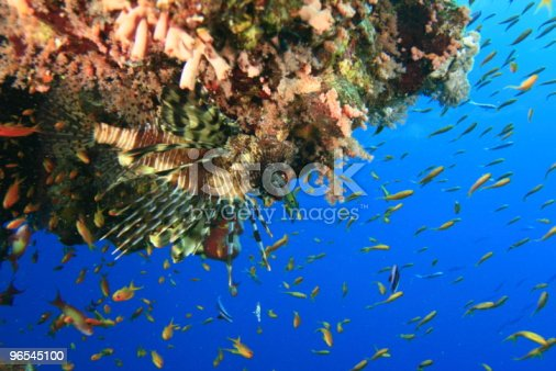 Lionfish And Fairy Basslets Stock Photo & More Pictures of Backgrounds