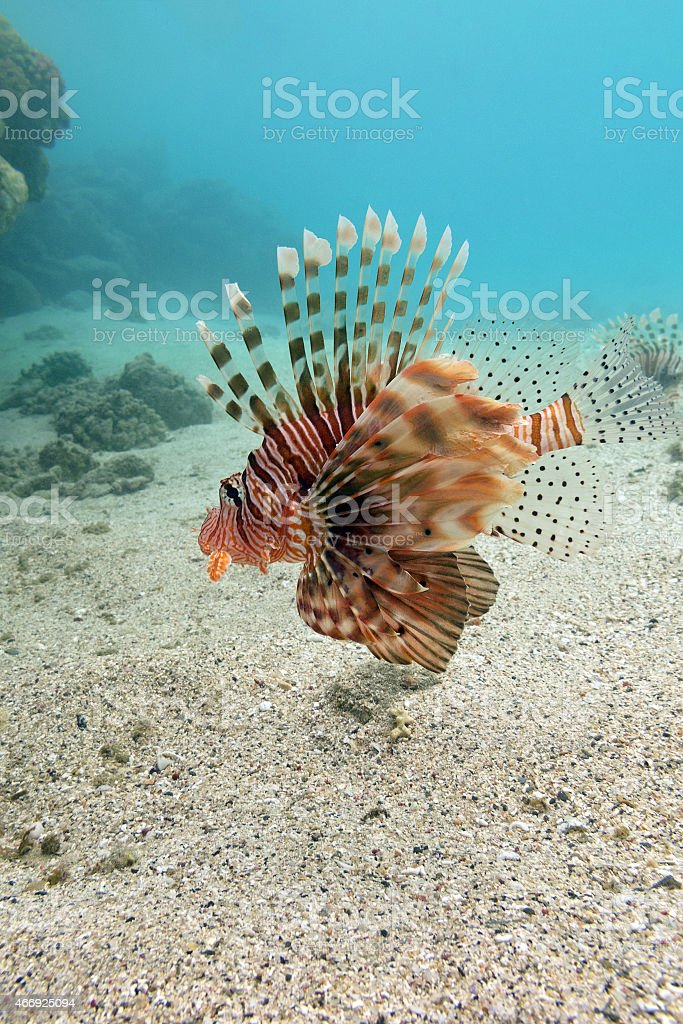 lionfish at the bottom of tropical sea - underwater stock photo