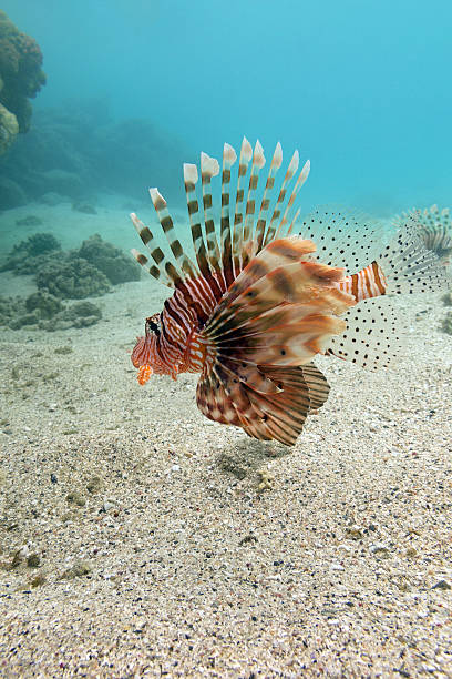 lionfish at the bottom of tropical sea - underwater - lionfish stock photos and pictures