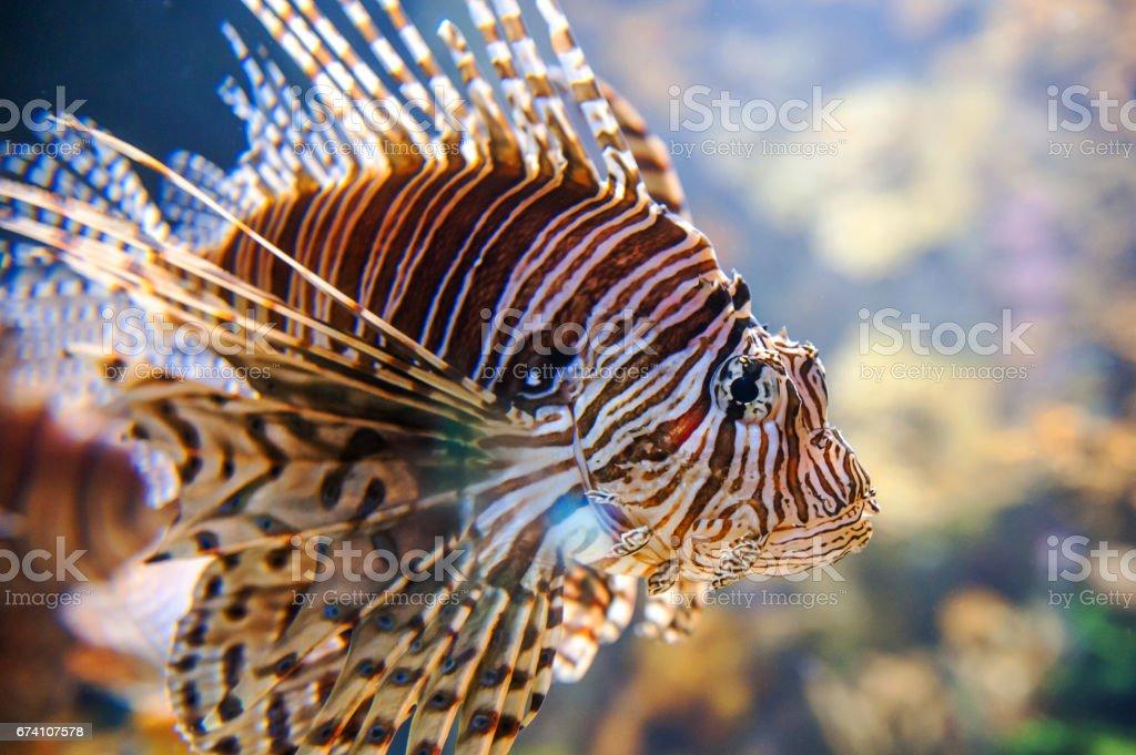 Lionfish Close-up royalty-free stock photo