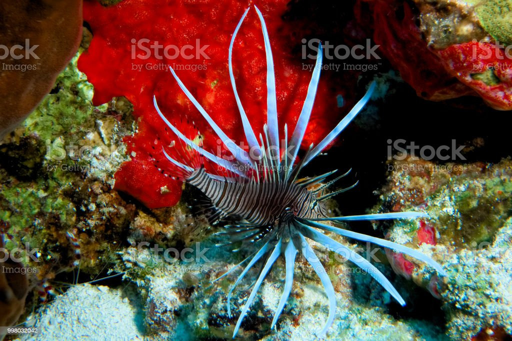 Lionfish - Cozumel, Mexico stock photo