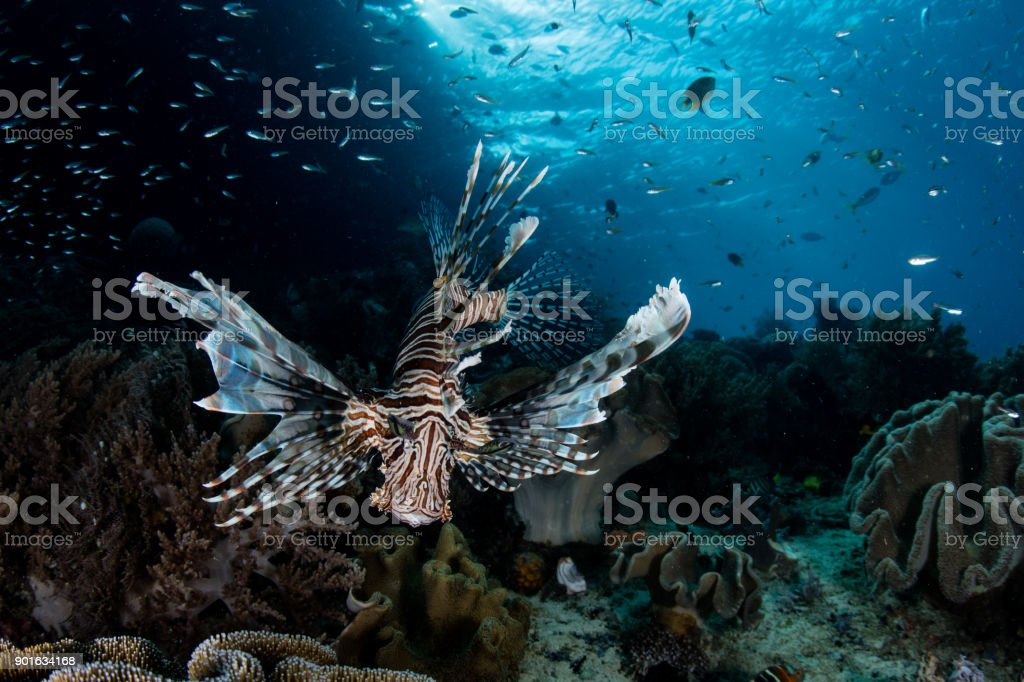 Lionfish Hunting on Reef stock photo