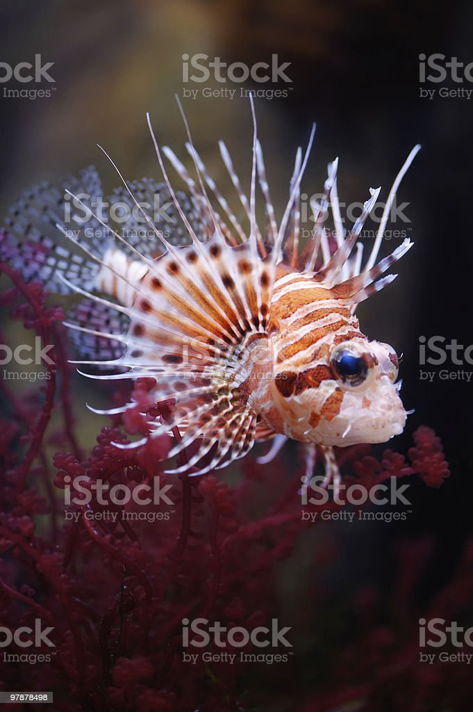 Lionfish (Pterois mombasae) in a Moscow Zoo aquarium stock photo