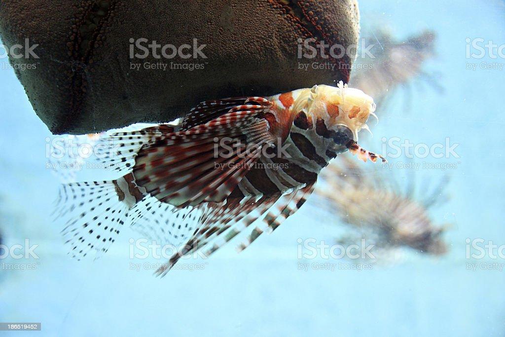 Lion-fish in aquarium. stock photo