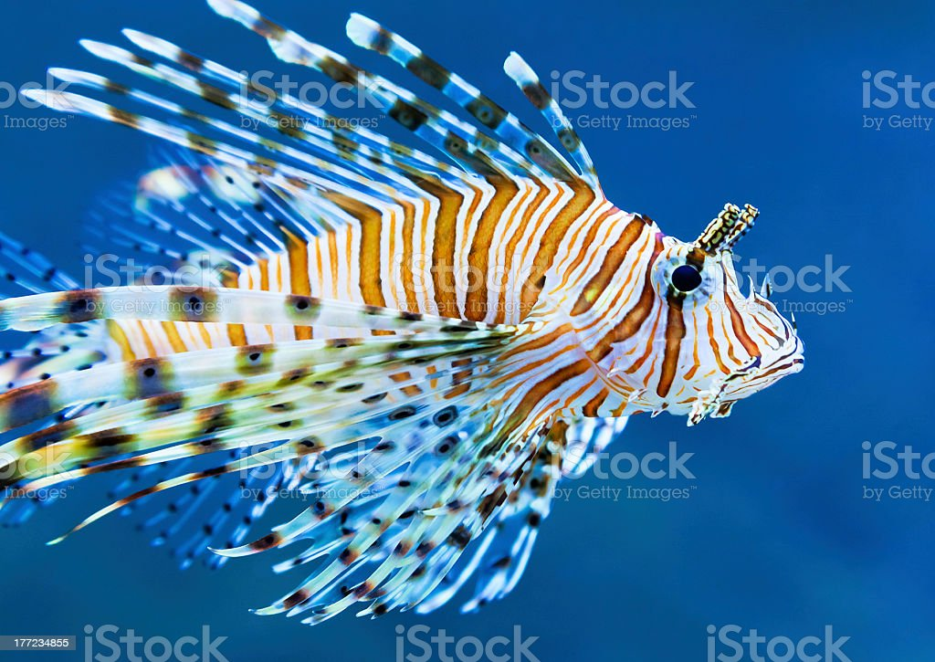 Lionfish in blue water royalty-free stock photo