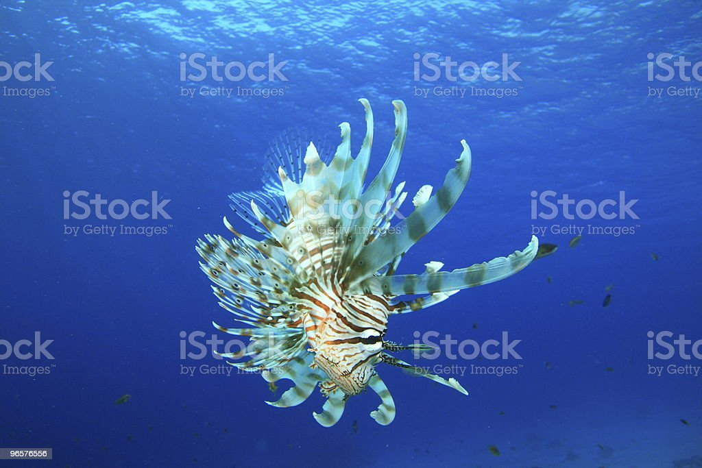 Lionfish in Blue Water - Royalty-free Achtergrond - Thema Stockfoto