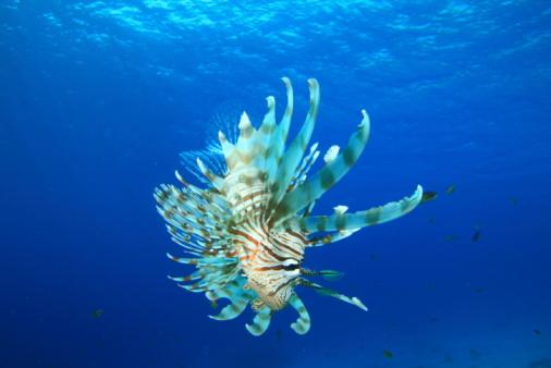 Lionfish In Blue Water Stockfoto en meer beelden van Achtergrond - Thema
