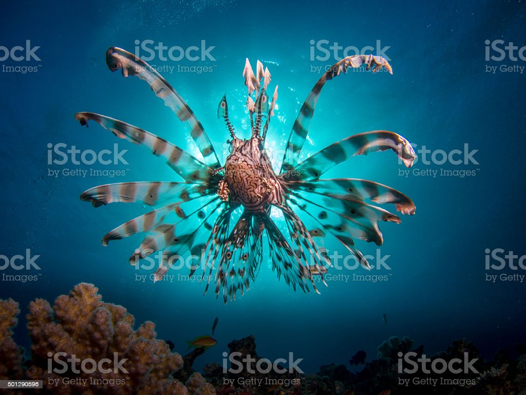 Lionfish in fron of the sun stock photo