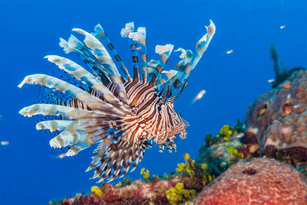 lionfish in the bahamas - lionfish stock photos and pictures