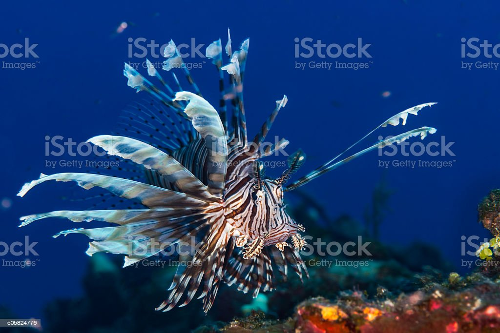 Lionfish in the Bahamas stock photo